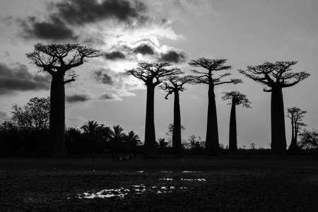 Beautiful Baobab trees at sunset at the avenue of the baobabs in Madagascar in black and white Stock Photo