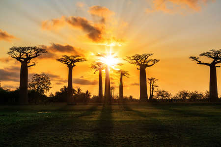 Beautiful Baobab trees at sunset at the avenue of the baobabs in Madagascar Stock Photo