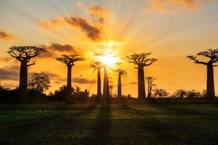 naranja arbol: Hermosos árboles baobab al atardecer en la avenida de los baobabs en Madagascar Foto de archivo