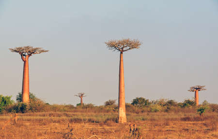 alley of baobabs: Beautiful Baobab trees at the avenue of the baobabs in Madagascar Stock Photo