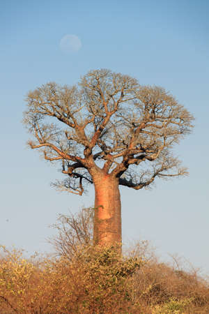 alley of baobabs: Beautiful Baobab tree in the landscape of Madagascar with a faint moon Stock Photo
