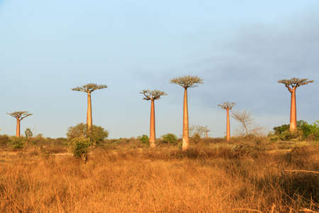 Beautiful Baobab trees in the wide landscape of Madagascar