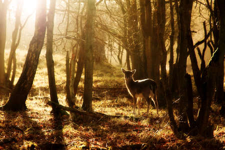 Beautiful young deer at sunset in the forest in national park the AWD in the Netherlands 스톡 콘텐츠