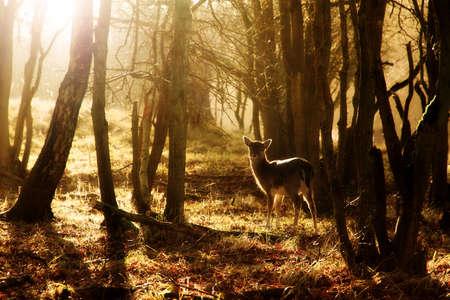 venado: ciervo joven hermosa al atardecer en el bosque en el Parque Nacional de la tracción total en los Países Bajos