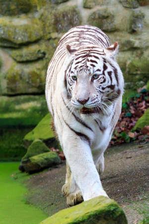 panthera tigris: Beautiful white Bengal tiger Panthera Tigris with blue eyes Stock Photo