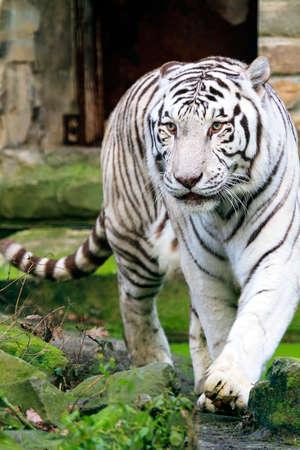 recessive: Beautiful white Bengal tiger Panthera Tigris with blue eyes Stock Photo