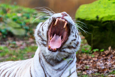 recessive: Close up portrait of a beautiful white Bengal tiger Panthera Tigris yawning