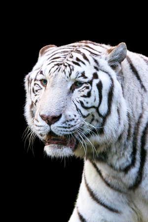panthera tigris: Close up portrait of a beautiful white Bengal tiger Panthera Tigris isolated on black