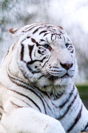 panthera tigris: Close up portrait of a beautiful white Bengal tiger Panthera Tigris