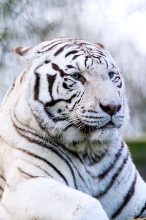 recessive: Close up portrait of a beautiful white Bengal tiger Panthera Tigris