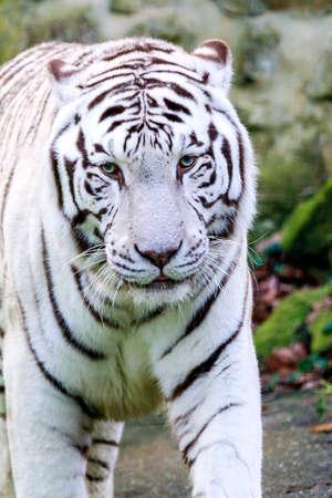 panthera tigris: