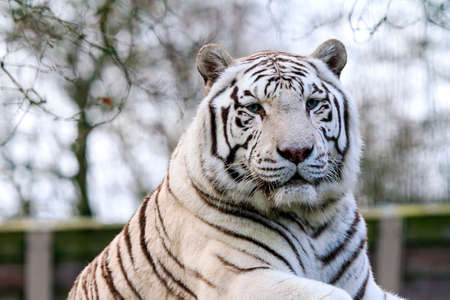 recessive: Close up portrait of a beautiful white Bengal tiger Panthera Tigris