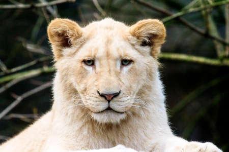 leon bebe: Cerca de retrato de un le�n blanco leo muy linda de la taza Panthera Foto de archivo