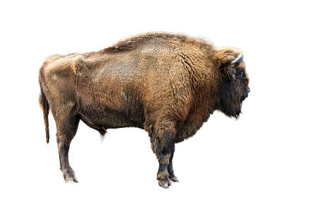 The European bison Bison bonasus, also known as wisent, isolated on white Stock Photo