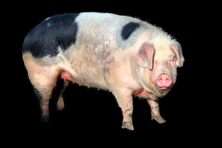 landrace: Beautiful cute fat piggy sus scrofa being happy, isolated from the background