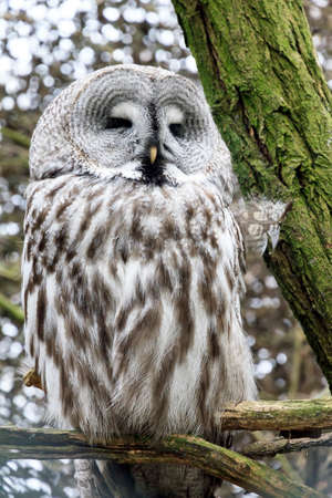 spectral: Portrait of the Great Grey Owl Strix nebulosa, also called Phantom of the North, Cinereous Owl, Spectral Owl, Lapland Owl, Spruce Owl, Bearded Owl, and Sooty Owl