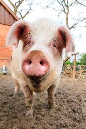 landrace: Close up retrato de un gran cerdo feliz SUS hocico scrofa