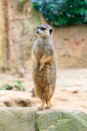 suricata: The meerkat or suricate Suricata suricatta standing on its back legs Stock Photo