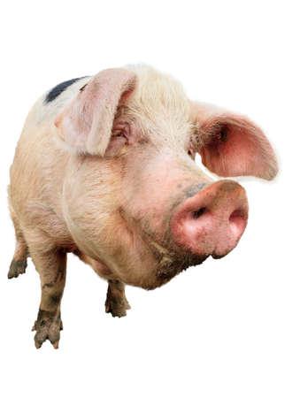 jabali: Close up retrato de un gran scrofa cerdo feliz sonriendo, aislado del fondo Foto de archivo