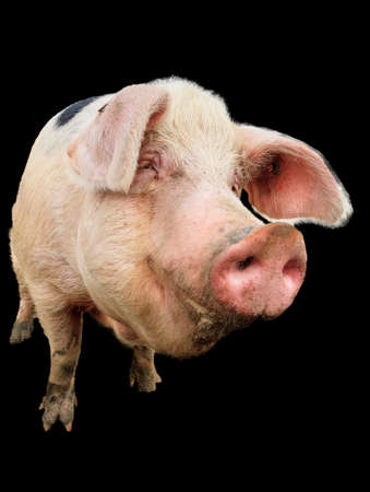 landrace: Close up portrait of a big happy pig sus scrofa smiling, isolated from the background Foto de archivo