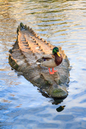 tough: Just a duck on top of a crock in a lake acting tough and badass