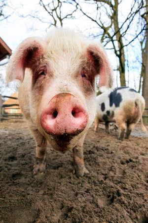 landrace: Close up portrait of a big happy pig sus scrofa smiling