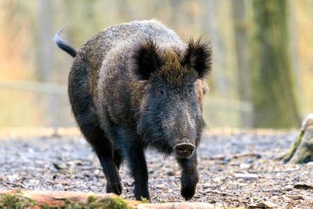 scrofa: Beautiful wild boar Sus Scrofa in national park Het Aardhuis at the Hoge Veluwe in the Netherlands Stock Photo