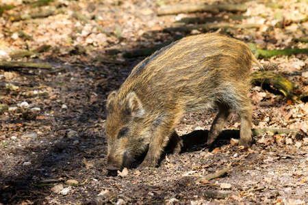 omnivores: Beautiful wild boar Sus Scrofa in national park Het Aardhuis at the Hoge Veluwe in the Netherlands Stock Photo