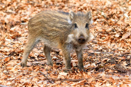 veluwe: Beautiful wild boar Sus scrofa in national park Aardhuis at the Hoge Veluwe in the Netherlands Stock Photo
