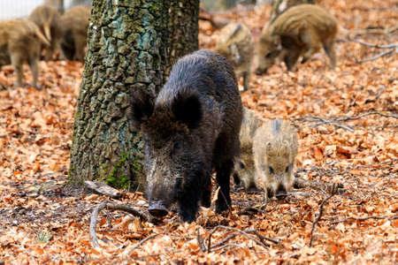 omnivores: Beautiful wild boars Sus Scrofa in national park Het Aardhuis at the Hoge Veluwe in the Netherlands Stock Photo