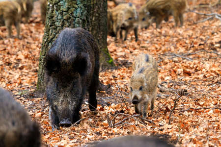 scrofa: Beautiful wild boars Sus Scrofa in national park Het Aardhuis at the Hoge Veluwe in the Netherlands Stock Photo