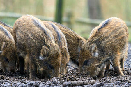 sus: Beautiful wild boars Sus Scrofa in national park Het Aardhuis at the Hoge Veluwe in the Netherlands Stock Photo