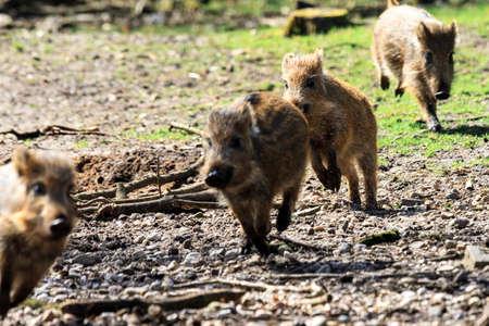 scrofa: Beautiful wild boars Sus Scrofa in national park Het Aardhuis at the Hoge Veluwe in the Netherlands Stock Photo