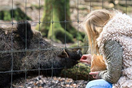 Wild meisje voederen van wilde zwijnen Sus Scrofa in nationaal park Het Aardhuis bij de Hoge Veluwe in Nederland