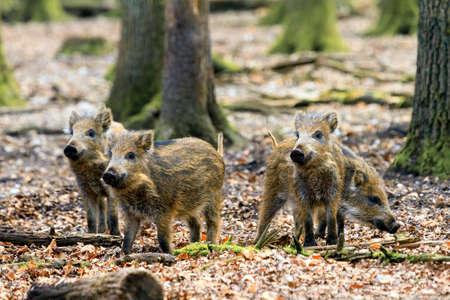 veluwe: Beautiful wild boars Sus Scrofa in national park Het Aardhuis at the Hoge Veluwe in the Netherlands Stock Photo