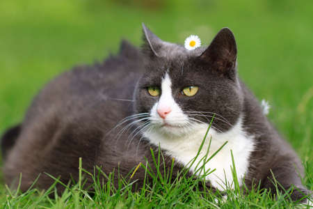 obesity: Chubby obese fluffy cute cat with a daisy on her head being beautiful in the garden