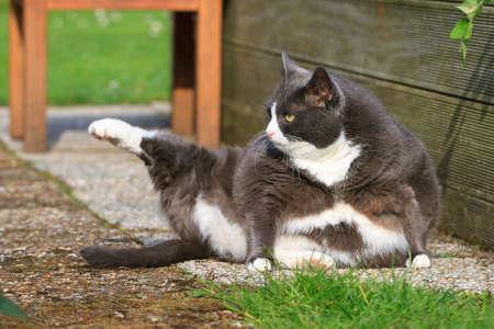 春の庭のいくつかのヨガを行って肥満と美しいデブ猫