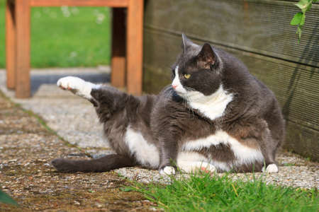 Beautiful fat cat with obesity doing some yoga in the garden in spring Stockfoto