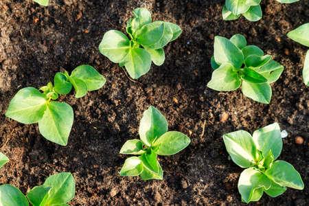 lactuca sativa: Home grown fresh green lettuce Lactuca sativa in the ground in spring
