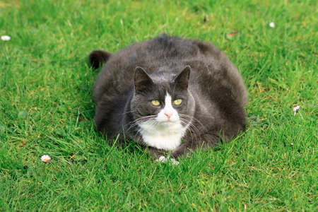 obesity: Beautiful obese cat spread out on the grass in the garden, tired and hungry after a workout