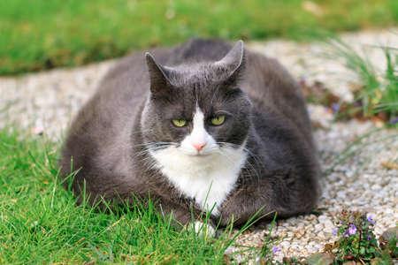 obesidad: Hermoso gato obeso hacia fuera en el césped en el jardín, cansados ??y hambrientos después de un entrenamiento