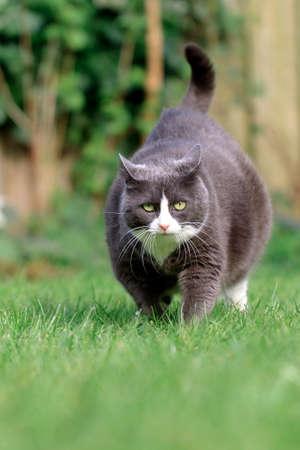 obesidad: Hermoso gatito gordo obeso gato en una dieta que trabaja en el jardín a perder algo de peso
