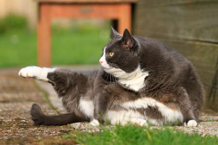 obesity: Beautiful fat cat with obesity doing some yoga in the garden in spring Stock Photo