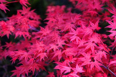 acer palmatum: Beautiful close up of pink Japanese maple Acer palmatum