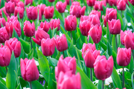 Close up of beautiful tulips in spring in the Netherlands