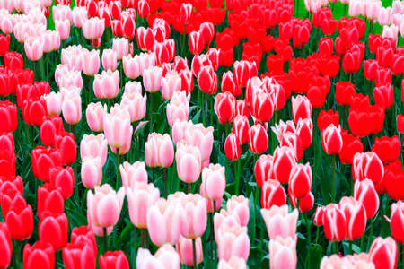 tulipan: Bliska pięknych tulipanów wiosną w Holandii