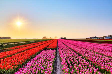 tulipan: Piękne kolorowe pola tulipanów w Holandii na wiosnę o zachodzie słońca