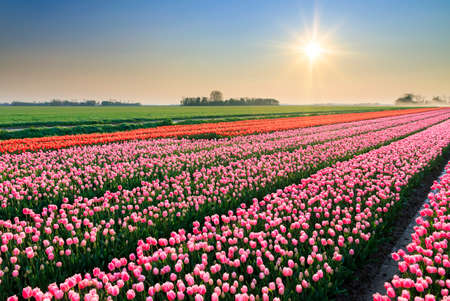 tulip: Beautiful colored tulip fields in the Netherlands in spring at sunset