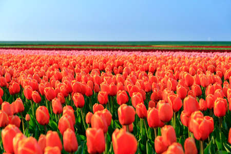 color: Beautiful colored tulip fields in the Netherlands in spring at sunset