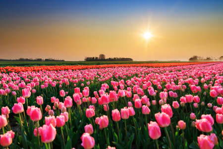 red tulip: Beautiful colored tulip fields in the Netherlands in spring at sunset